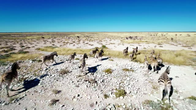 HELI Zebras Running In The Savannah video