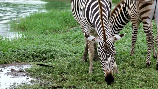 zebras was eating