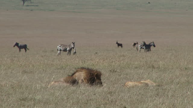 Zebras watching a lion couple sitting nearby
