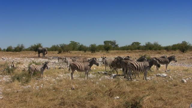 zebras_elefant_total - afrikanische steppe dürre stock-videos und b-roll-filmmaterial