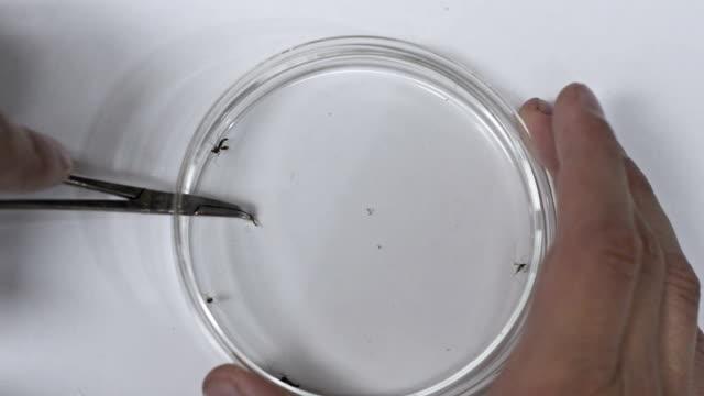 Zika mosquitoes into petri dish. video