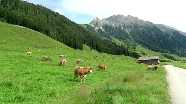 vídeos de stock, filmes e b-roll de paisagem do vale de zillertal com prado, celeiro e córrego. localizado no vale de schoenachtal em tirol (áustria). - tyrol state austria