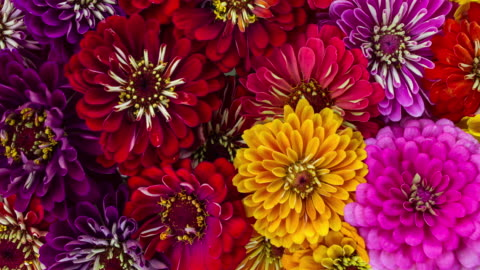 vídeos de stock e filmes b-roll de zinnia flowers blooming - florescer