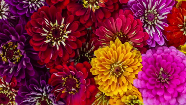 zinnia flowers blooming - flowers стоковые видео и кадры b-roll