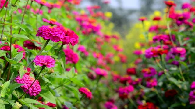 Zinnia Zinnia red flower in the flora park. arthropod stock videos & royalty-free footage