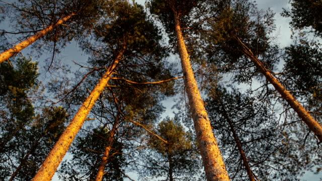 zooma in hög tall skog baldakin. - fur bildbanksvideor och videomaterial från bakom kulisserna