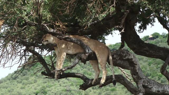 Zoom in of a lion sleeping on a tree like a leopard