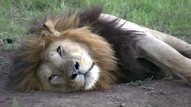 Zoom in of a lion sleeping then opening his eyes at close range