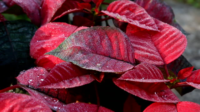 Zoom in of Red poinsettia. video