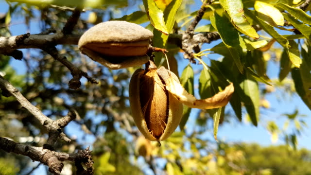vídeos de stock e filmes b-roll de zoom in on the almond tree. beautiful sunny weather. - amendoas