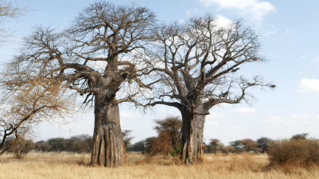 zoom in on two boabab trees at tarangire national park zoom in on two boabab trees at tarangire national park in tanzania, africa baobab tree stock videos & royalty-free footage