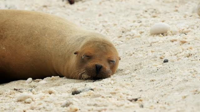 vídeos de stock, filmes e b-roll de aproxime a foto de um leão de mar adormecido na ilha genovesa nas ilhas galápagos - ilha genovesa