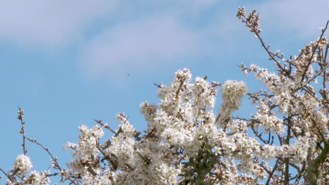 Zoom in to a close up of Hawthorn flowers in full bloom on a hedge in Dumfries and Galloway