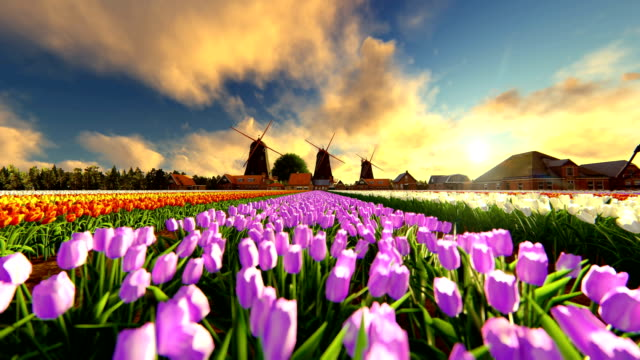 Zoom In Traditional Dutch Windmills With Vibrant Tulips At Sunset video