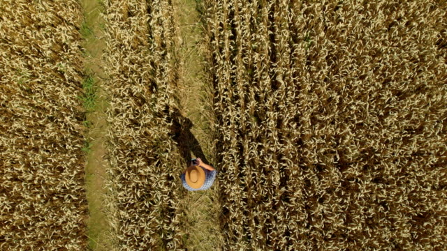 Zoom Man Hat in Young Wheat Field and Examining Crop. Aerial View Directly Above a Farmer Monitoring His Wheat With Tablet. Wheat Field Farmer Landscape Nature Agriculture Growth Drone Footage Man. Zoom Man Hat in Young Wheat Field and Examining Crop. Aerial View Directly Above a Farmer Monitoring His Wheat With Tablet. Wheat Field Farmer Landscape Nature Agriculture Growth Drone Footage Man. aerial agriculture stock videos & royalty-free footage