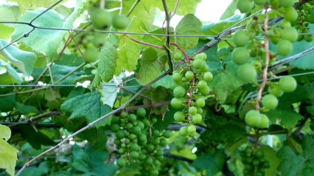 zoom out footage of young green grape on grapevine - langhe video stock e b–roll