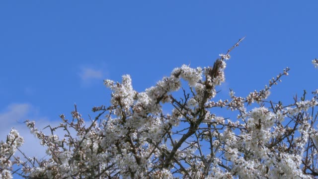 Zoom out from close up of Hawthorn flowers in full bloom on a hedge in Dumfries and Galloway