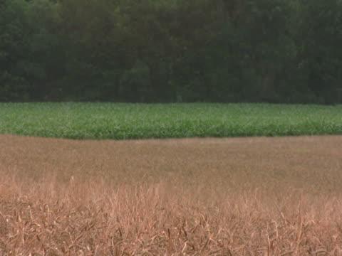 zoom out of corn and wheat field ntsc - klip uzunluğu stok videoları ve detay görüntü çekimi