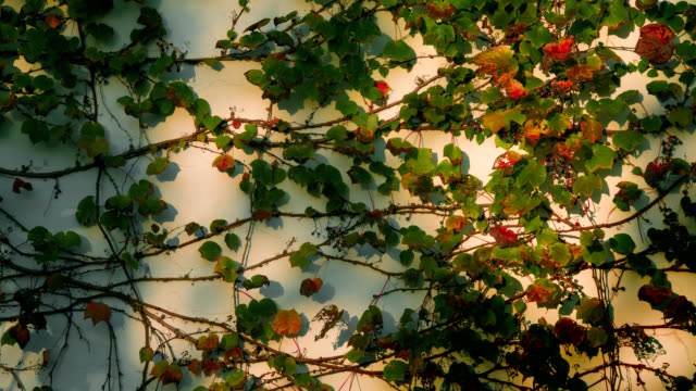 벽에 기 식물 그늘 축소 - 아이비 스톡 비디오 및 b-롤 화면
