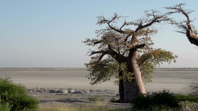 Zoom out on Baobab trees, Botswana Zoom out on Baobab trees with Makgadikgadi Pans in the foreground, Botswana makgadikgadi pans national park stock videos & royalty-free footage