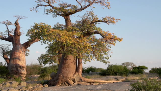 Zoom out on Baobab trees in Botswana Zoom out on Baobab trees in Botswana makgadikgadi pans national park stock videos & royalty-free footage