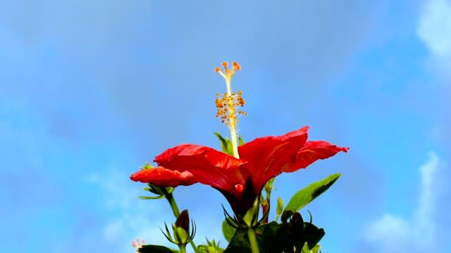 拡大ショットの花が咲き乱れるハイビスカスの花のブルーの空。 - リゾート点の映像素材/bロール