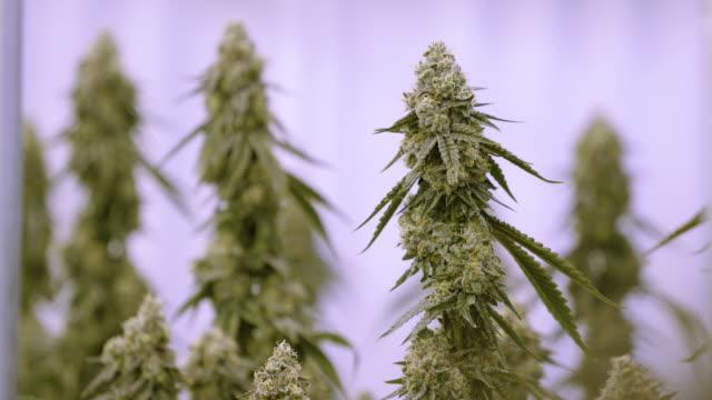 zooma till big marijuana knopp på inomhus cannabis warehouse - thc bildbanksvideor och videomaterial från bakom kulisserna