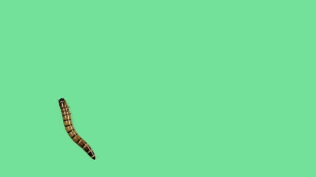 zophoba oder superworm auf grünen bildschirm aufwärts - wurm stock-videos und b-roll-filmmaterial