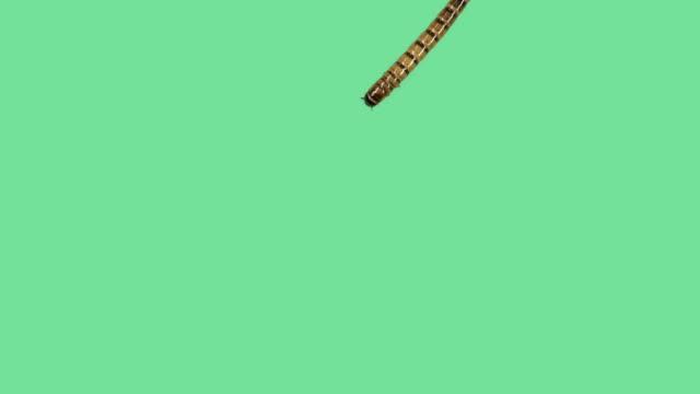 zophoba oder superworm auf grünen bildschirm - wurm stock-videos und b-roll-filmmaterial