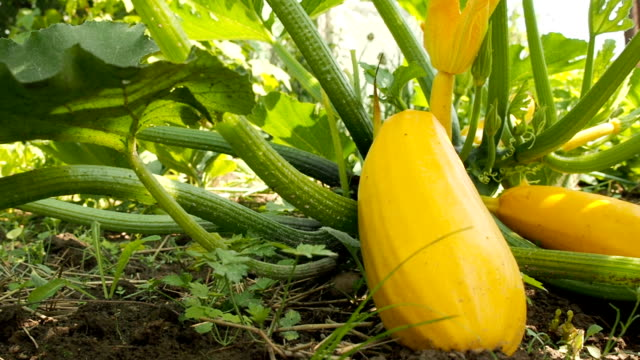 zucchini grown in the field. organic vegetables. - zucchini video stock e b–roll
