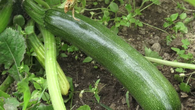 zucchini plant. zucchini growing in the garden. green vegetable. - zucchini video stock e b–roll
